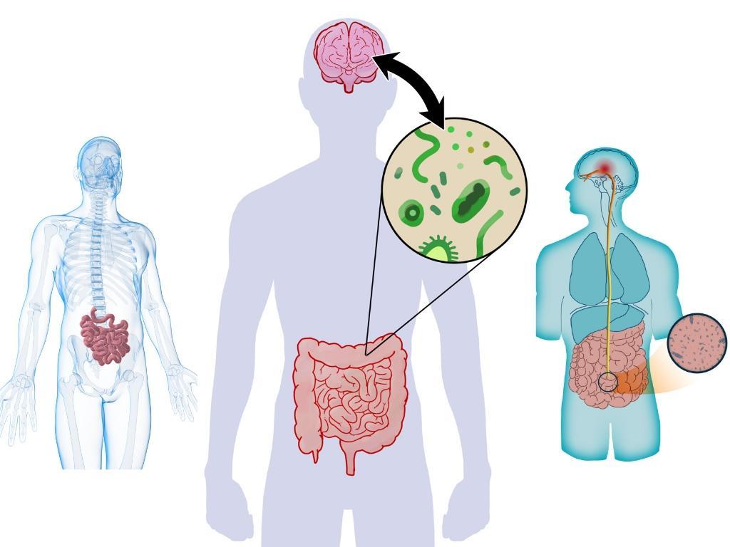 darmflora een tweede stel hersenen