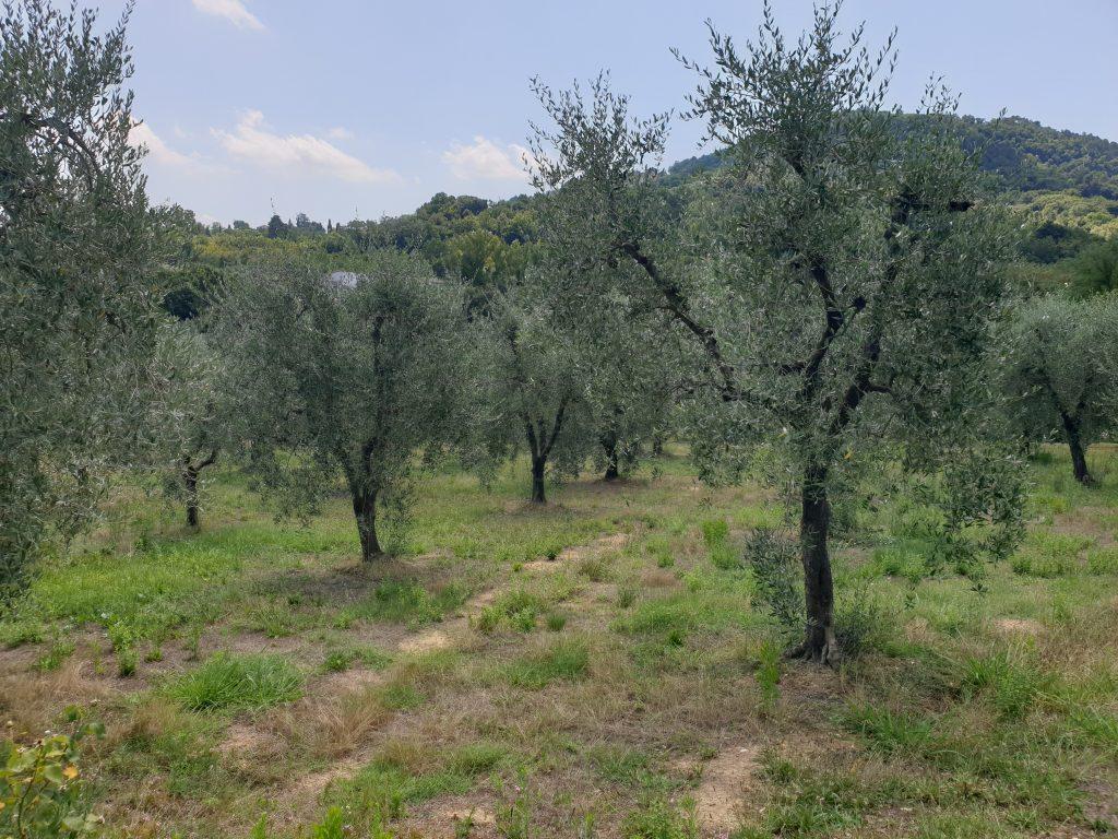 Olijfgaarden van Il Ruscello